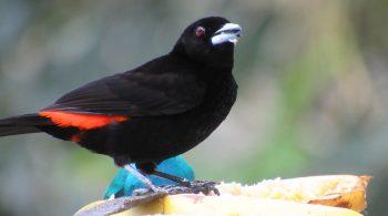 Asoma Candela macho (Ramphocelus Flammigerus), avistado en La Cumbre, Valle del Cauca