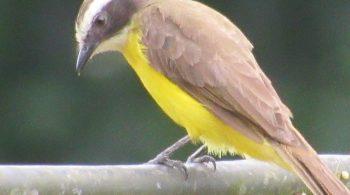 Ave Bichofué (Pitangus Sulphuratus), avistada en Cali, Valle del Cauca.