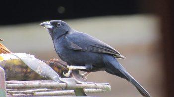 Ave Parlotero Malcasado macho (Tachyphonus Rufus), avistado en el municipio de La Cumbre Valle del Cauca