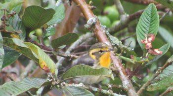 Ave reinita gorjinaranja (Setophaga Fusca), avistada en Restrepo, Valle del Cauca.