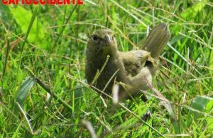 Ave-semillero-verderón (Chloris chloris), avistado en La Cumbre, Valle del Cauca