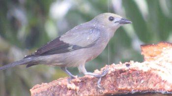 Azulejo Palmero (Thraupis Palmarum), avistado en La Cumbre, Valle del Cauca