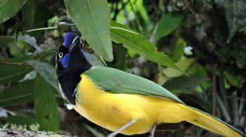 Carriqui Verdiamarillo (Cyanocorax Yncas), avistado en La Cumbre, Valle del Cauca