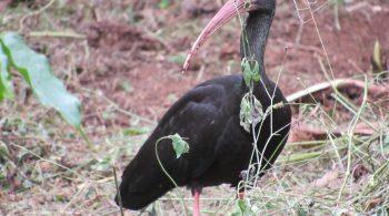 Coquito o ibis negro (phimosus infuscatus), avistado en Palmira, Valle del Cauca