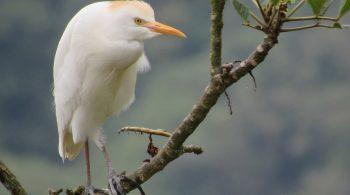 Garcilla bueyera (Bubulcus ibis), avistado en Palmira, Valle del Cauca.