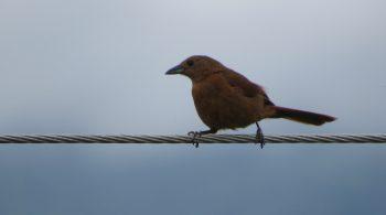 Parlotero Malcasado hembra (Tachyphonus Rufus), avistado en La Cumbre, Valle del Cauca