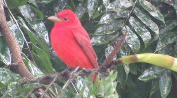 Piranga roja macho (Piranga Rubra), avistada en Dagua, Valle del Cauca