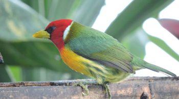 Torito Cabecirrojo Macho (Eubucco Bourcierii), avistado en Dagua, Valle del Cauca