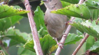 ave Espiguero Variable ( Sporophila Ophthalmica), avistada en El Cerrito, Valle del Cauca.
