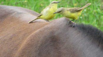ave picabuey (Machetornis rixosa), avistada en Restrepo, Valle del Cauca