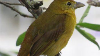 ave piranga abejera hembra (Piranga Rubra), avistada en Restrepo, Valle del Cauca