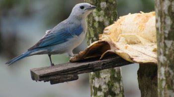 Ave Azulejo Común (Thraupis Episcopus), avistada en Buga, Valle del Cauca