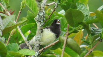 Ave Espiguero Capuchino (Sporophila Nigricolis),avistada en Yotoco, Valle del Cauca