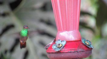 Colibrí esmeralda (Amazilia Luciae), avistado en Yotoco, Valle del Cauca