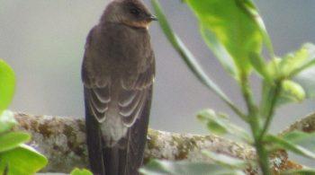 Copetón cenizo (Ash throated flycatcher), avistado en Buga, Valle del Cauca
