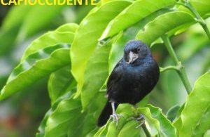 Semillero azul (Amaurospiza concolor), avistado en Darién, Valle del Cauca